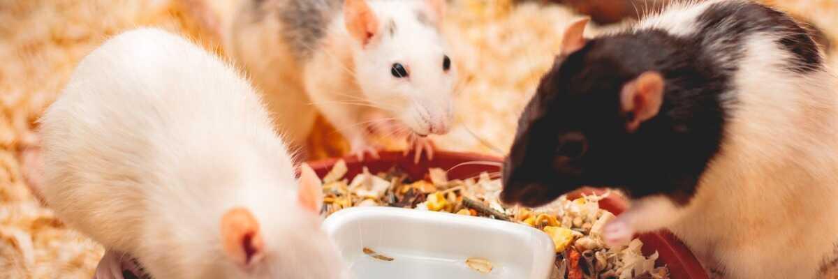 Comment choisir la bonne nourriture pour mon rat ?