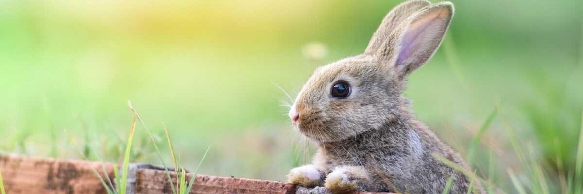 Puces et parasites du lapin : comment les reconnaître et les combattre ?