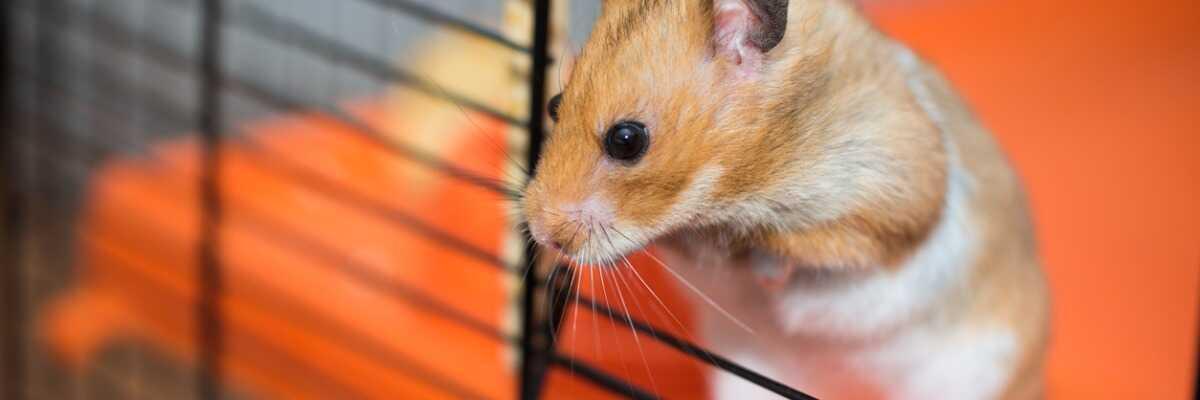Comment connaître le sexe de mon hamster ?