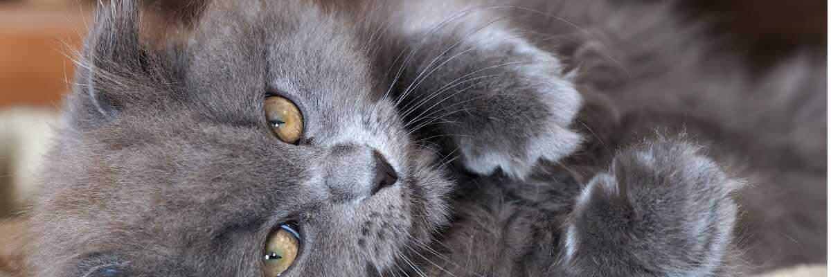 Mon chat a des pellicules : comment les éliminer ?