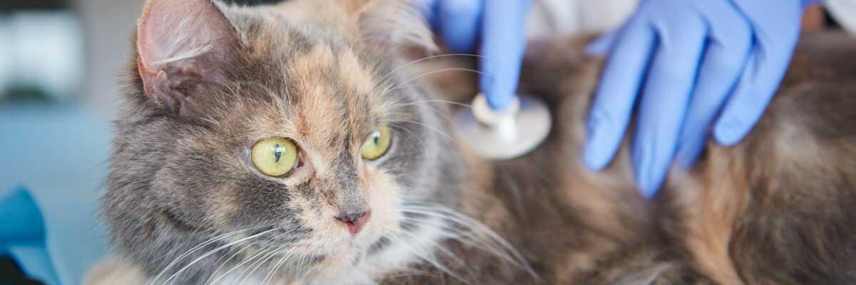 Pancréatite du chat : comment la soulager ?