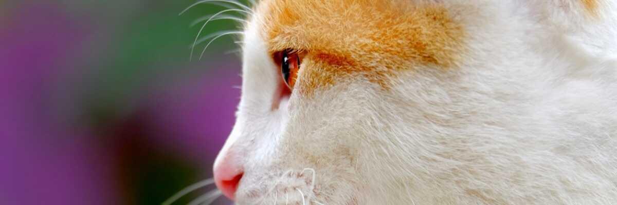 Hyperthyroïdie chez le chat : comment se manifeste-t-elle ?