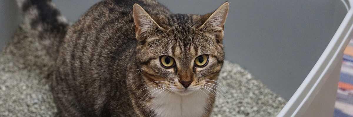 Cystite chez le chat : comment la soigner ?