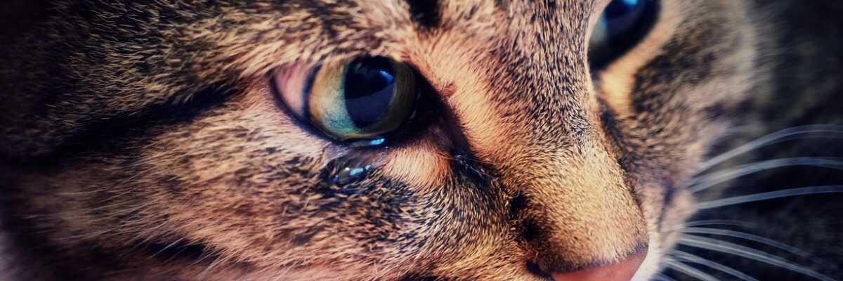 Chat qui pleure : que faire ?