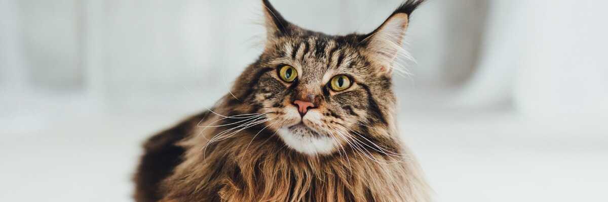 Quelles croquettes pour un chat Maine Coon ?