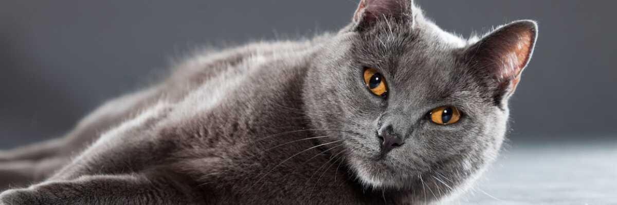 Quelles croquettes pour un chat Chartreux ?