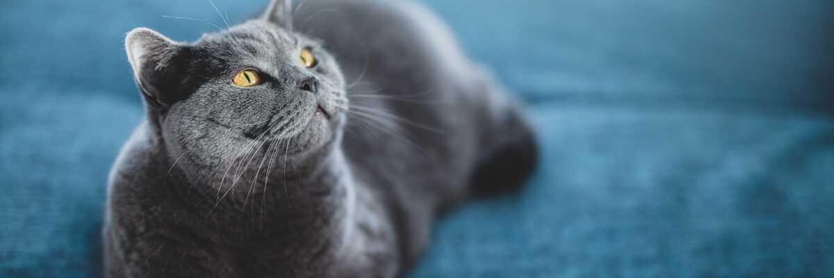 Quelles croquettes pour un chat British Shorthair ?