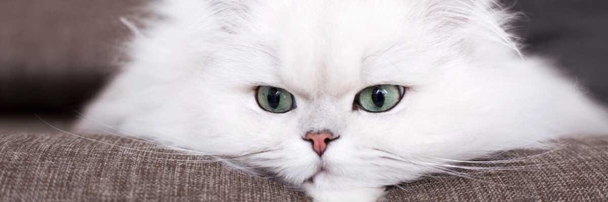Quelles croquettes pour un chat Persan ?