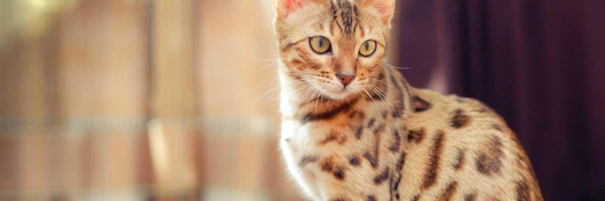 Quelles croquettes pour un chat Bengal ?