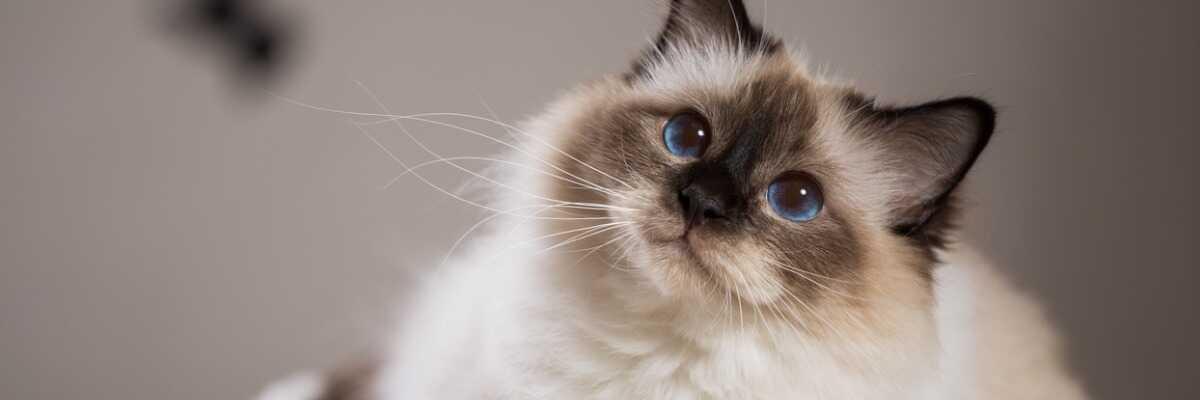 Quelles croquettes pour un chat Sacré de Birmanie ?