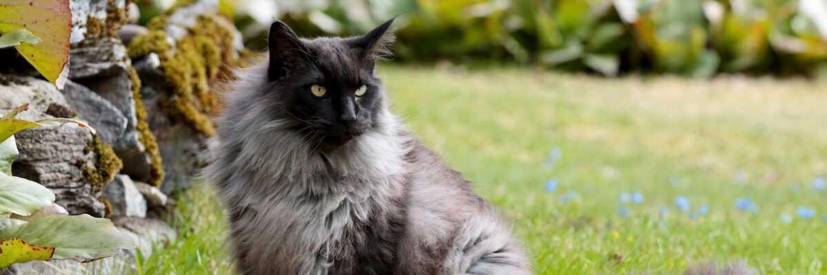 Quelles croquettes pour un chat Norvégien ?