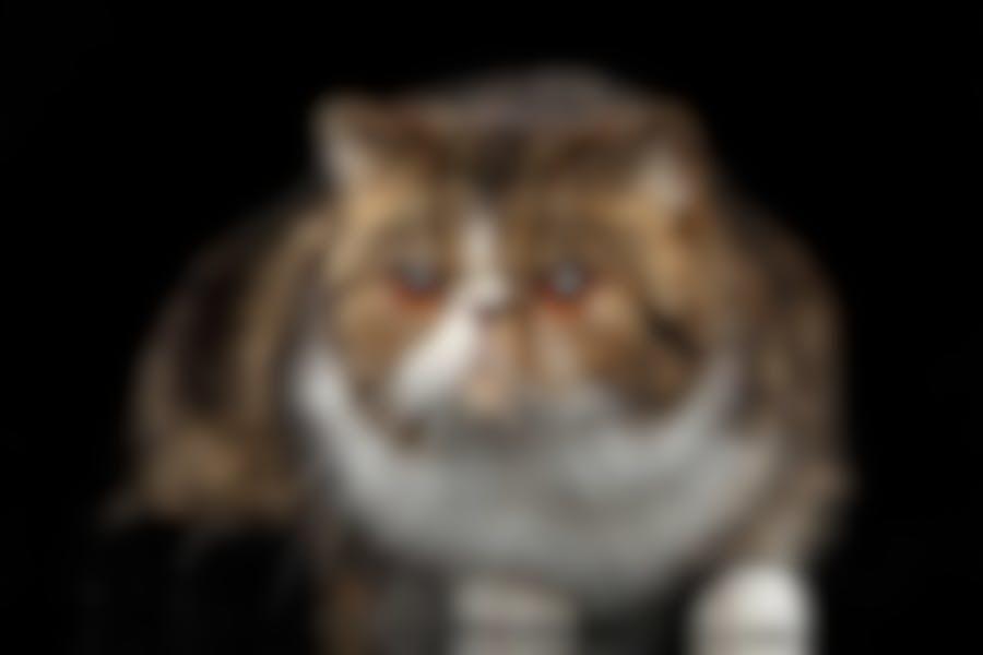 Quelles croquettes pour un chat Exotic Shorthair ?