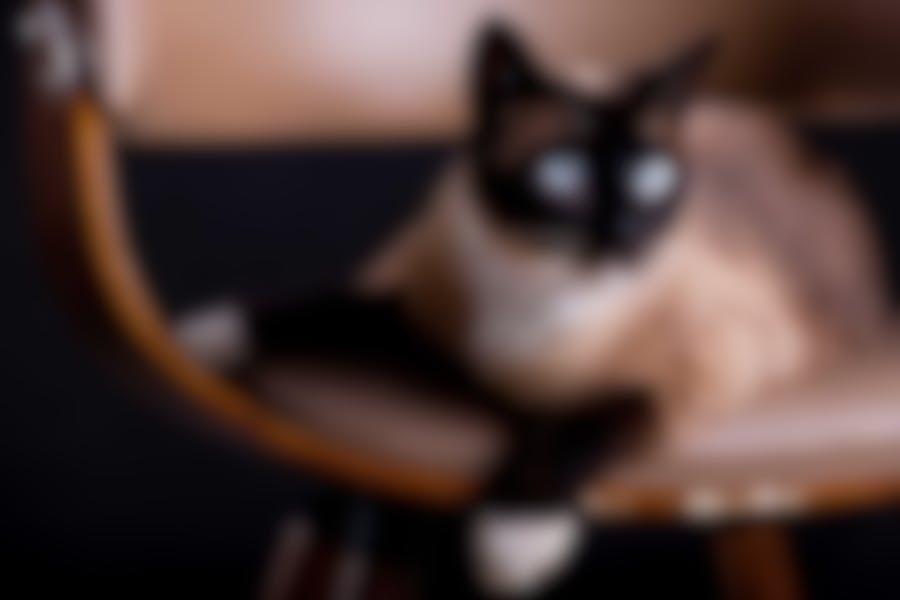 Quelles croquettes pour un chat Siamois ?