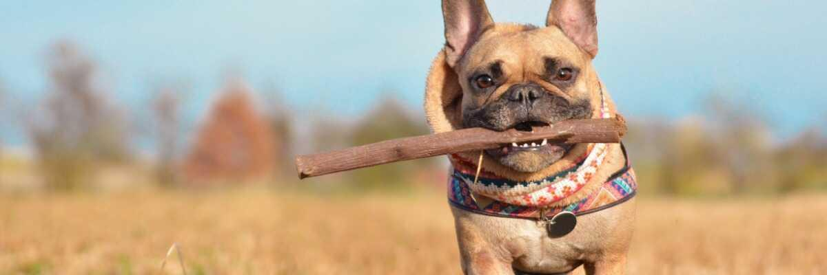 Quelles croquettes pour un chien Bouledogue Français ?