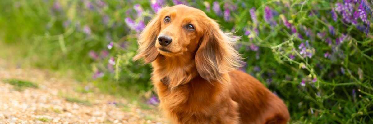 Quelles croquettes pour un chien Teckel ?