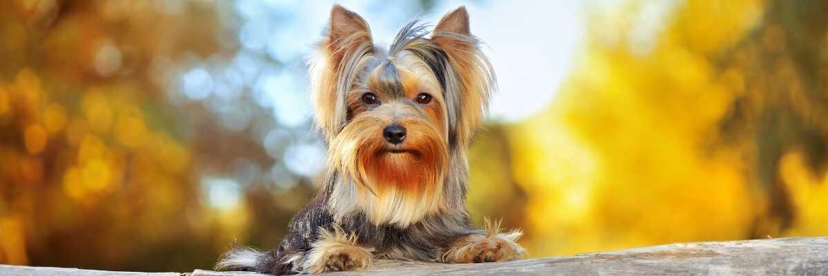 Quelles croquettes pour un chien Yorkshire Terrier ?
