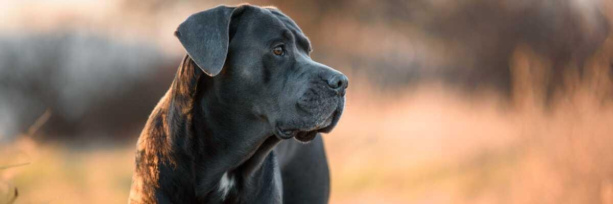 Quelles croquettes pour un chien Cane Corso ?