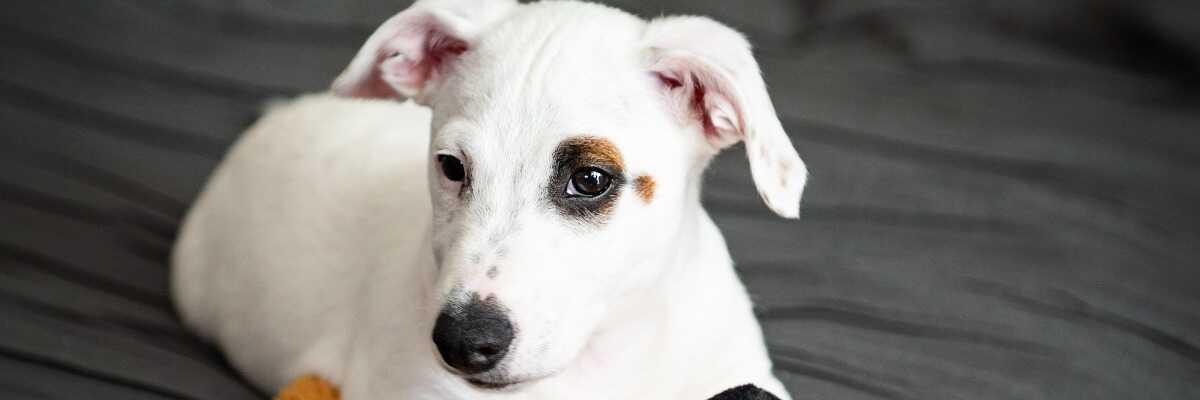 Quelles croquettes pour un chien Jack Russell Terrier ?