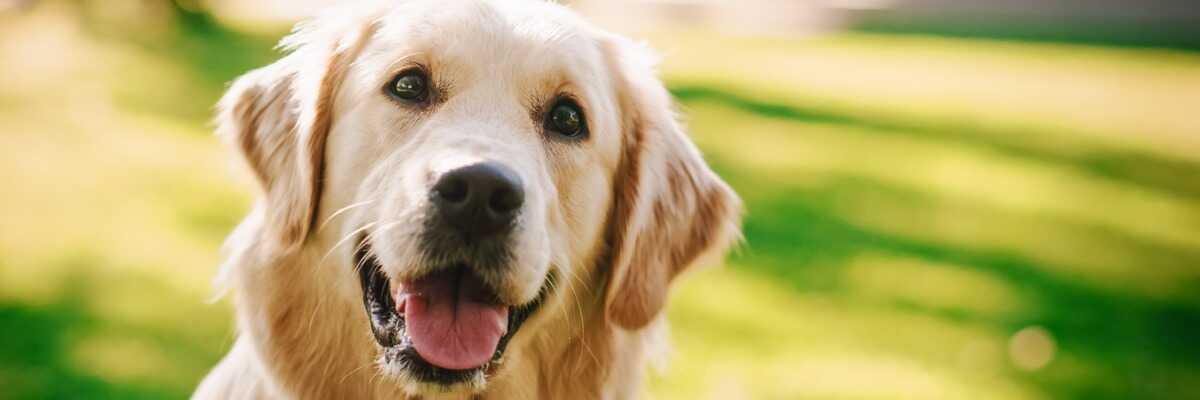 Quelles croquettes pour un chien Golden Retriever ?