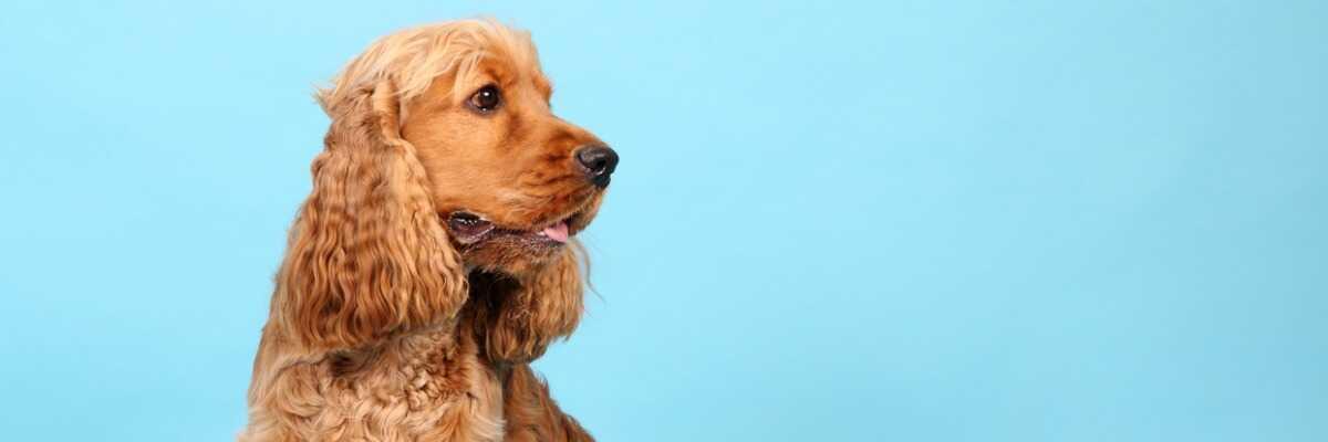 Quelles croquettes pour un chien Cocker Spaniel Anglais ?