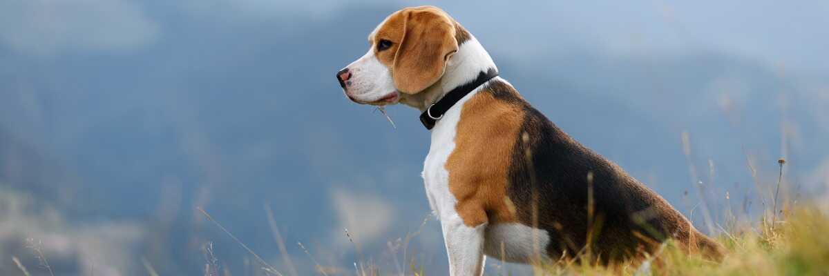 Quelles croquettes pour un chien Beagle ?