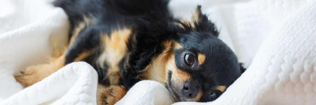 Quelles croquettes pour un chien Chihuahua ?