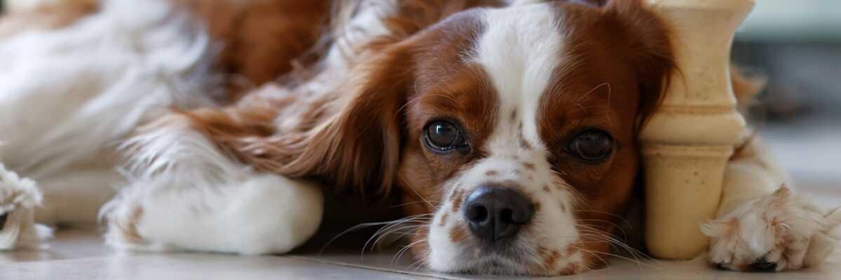 Quelles croquettes pour un chien Cavalier King Charles ?