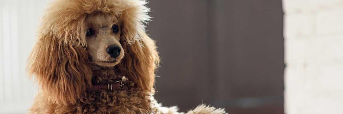 Quelles croquettes pour un chien Caniche ?