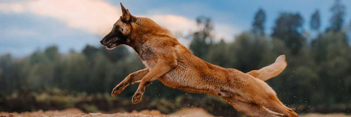 Quelles croquettes pour un chien Berger Malinois ?