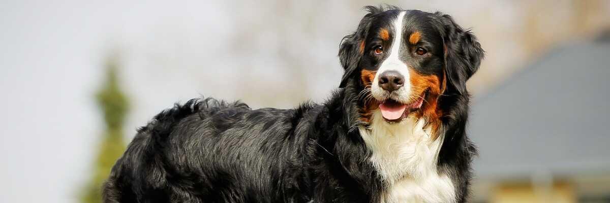 Quelles croquettes pour un chien Bouvier Bernois ?