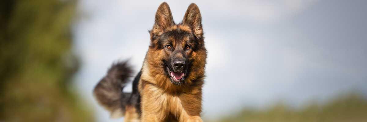 Quelles croquettes pour un chien Berger Allemand ?