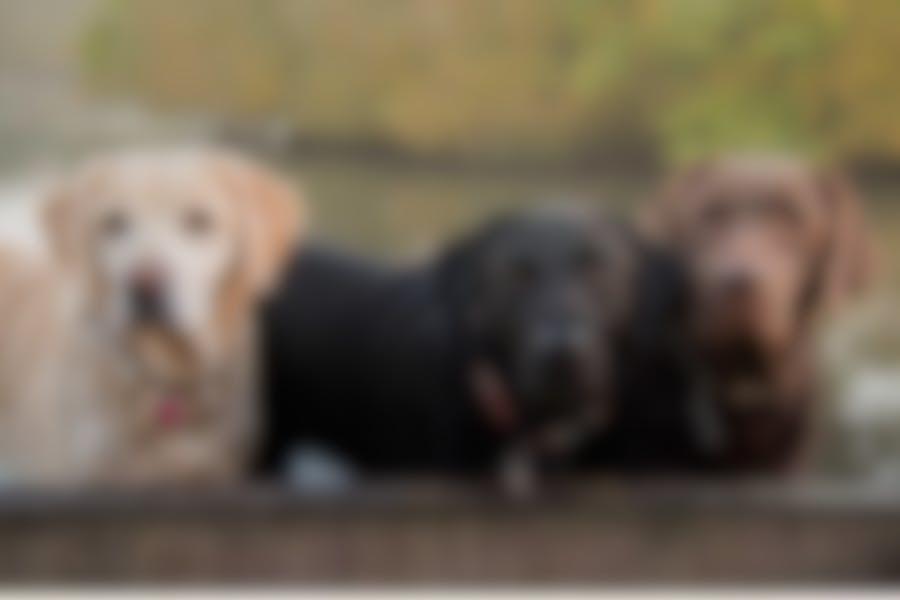 Quelles croquettes pour un chien Labrador ?