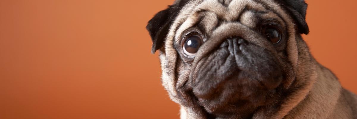 Eerste hulp bij blaasontstekingen bij honden