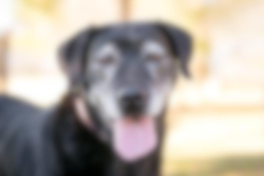 Comment adapter l'alimentation de mon chien lorsqu'il vieillit?