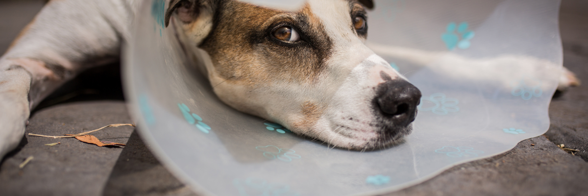 Blaasgruis en blaasstenen bij de hond