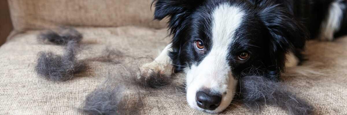 Comment éviter la perte de poils de mon chien?