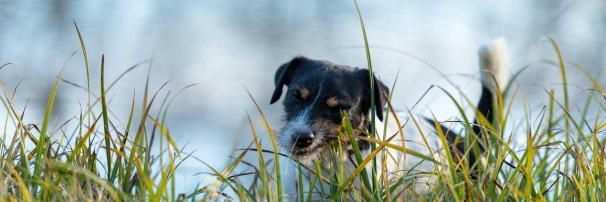 Mon chien mange de l'herbe : pourquoi ?