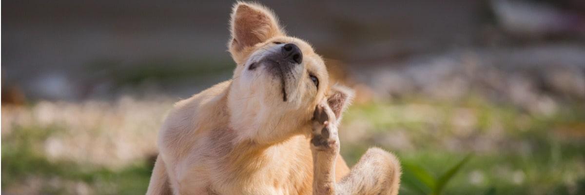 Dois-je traiter mon chien contre les puces?